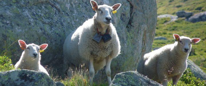 Gottes geliebtes Schaf sein